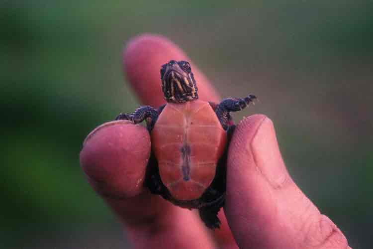 A tiny baby turtle held in a man's fingertips