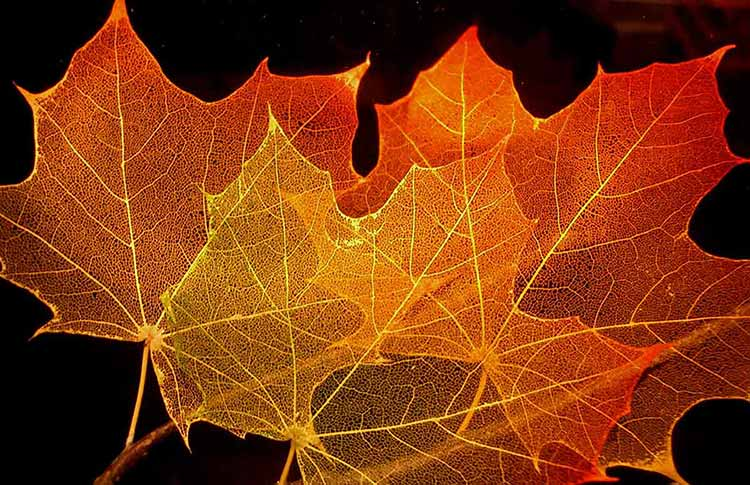 Photograph of maple leaves laid over each other with a strong backlight and a black background