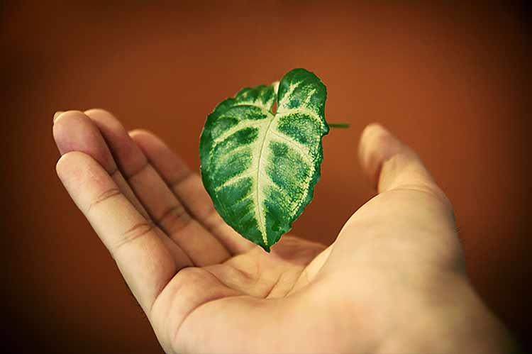 Photograph of a green leaf floating above a male hand
