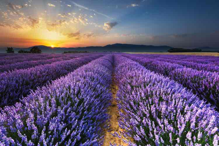 Rows of lavender shown disappearing to the horizon