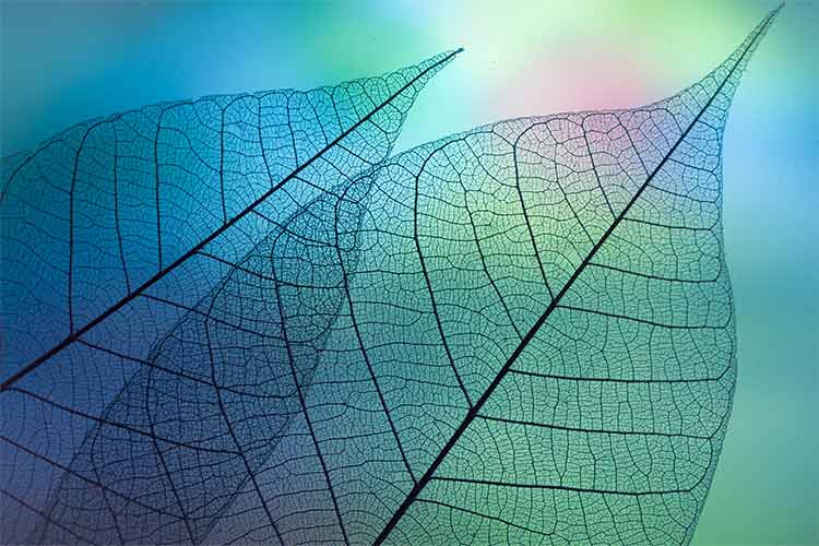 Photograph of two overlapping semi-transparent leaves against a blue-green background