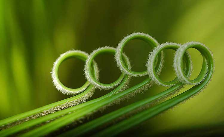 Photograph of uncurling palm fronds