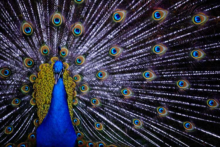 Front photograph of a male peacock with spread tail