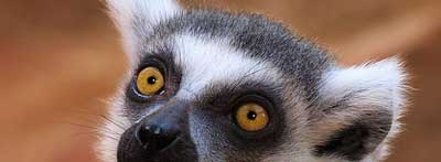 Photograph of ring-tailed lemur