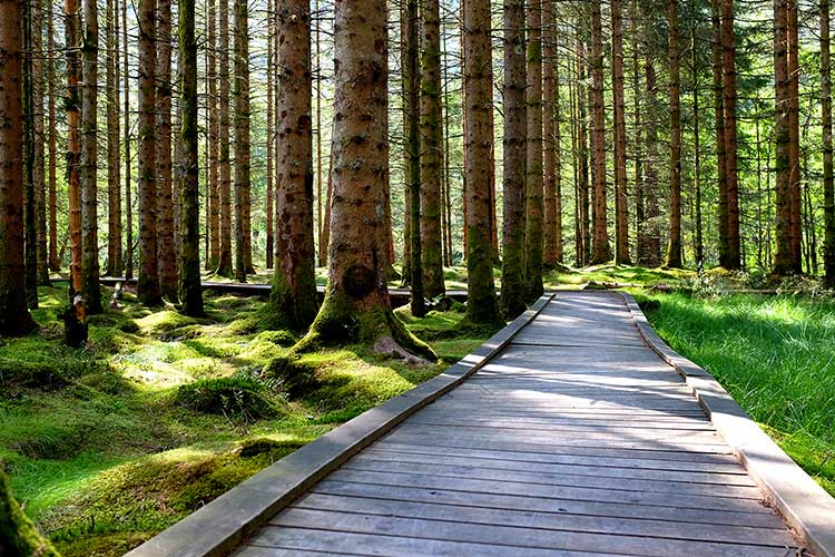 A wooden pathway through a moss-clad Norwegian forest